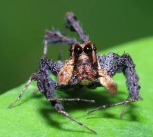 Portia Labiata Jumping Spider